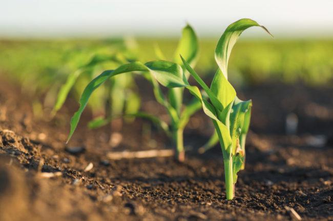 Young corn crop