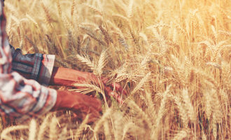 Wheatresearch_lead