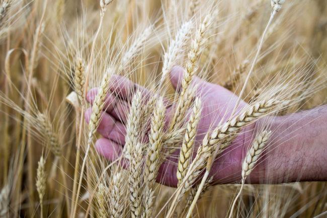 Wheat quality