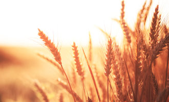 Redwheat_lead