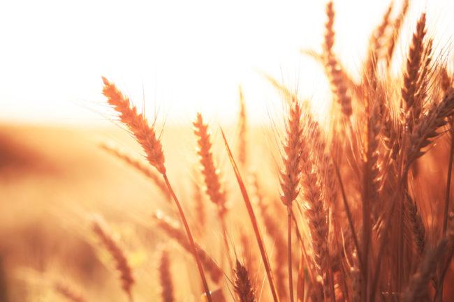 Soft red winter wheat crop