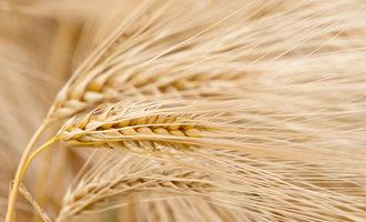 Wheat_lead