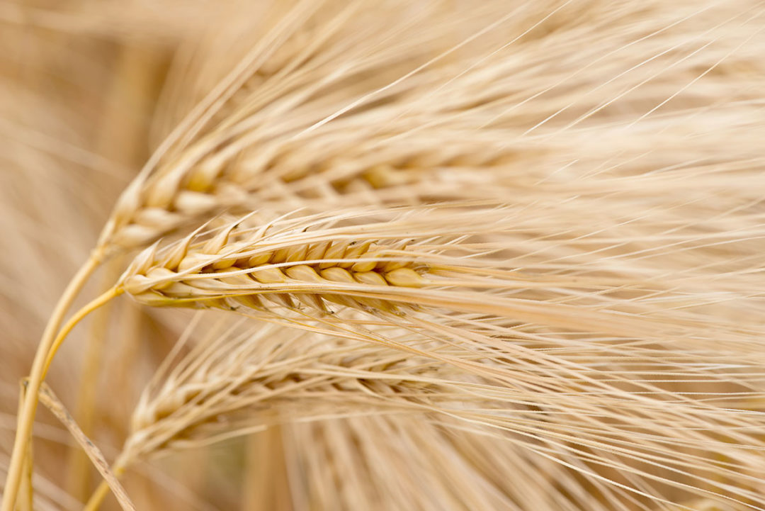 Wheat microbial challenges