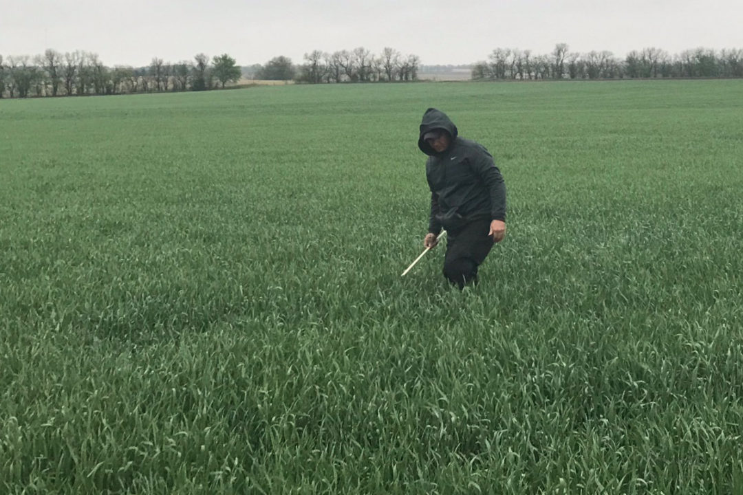 Scout on wheat tour