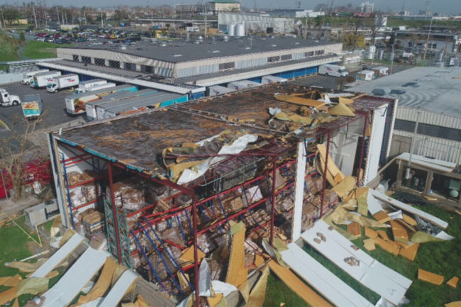 Pan Pepin plant after Hurricane Maria