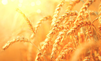Wheat_lead