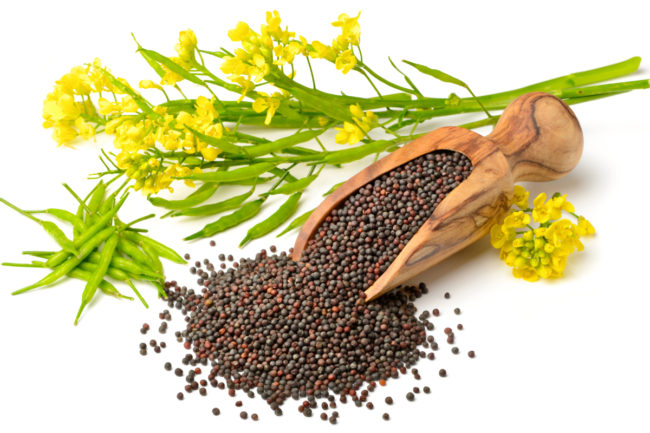 canola seeds and fresh canola flowers