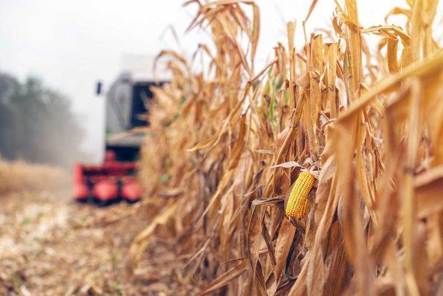 07172019_corn