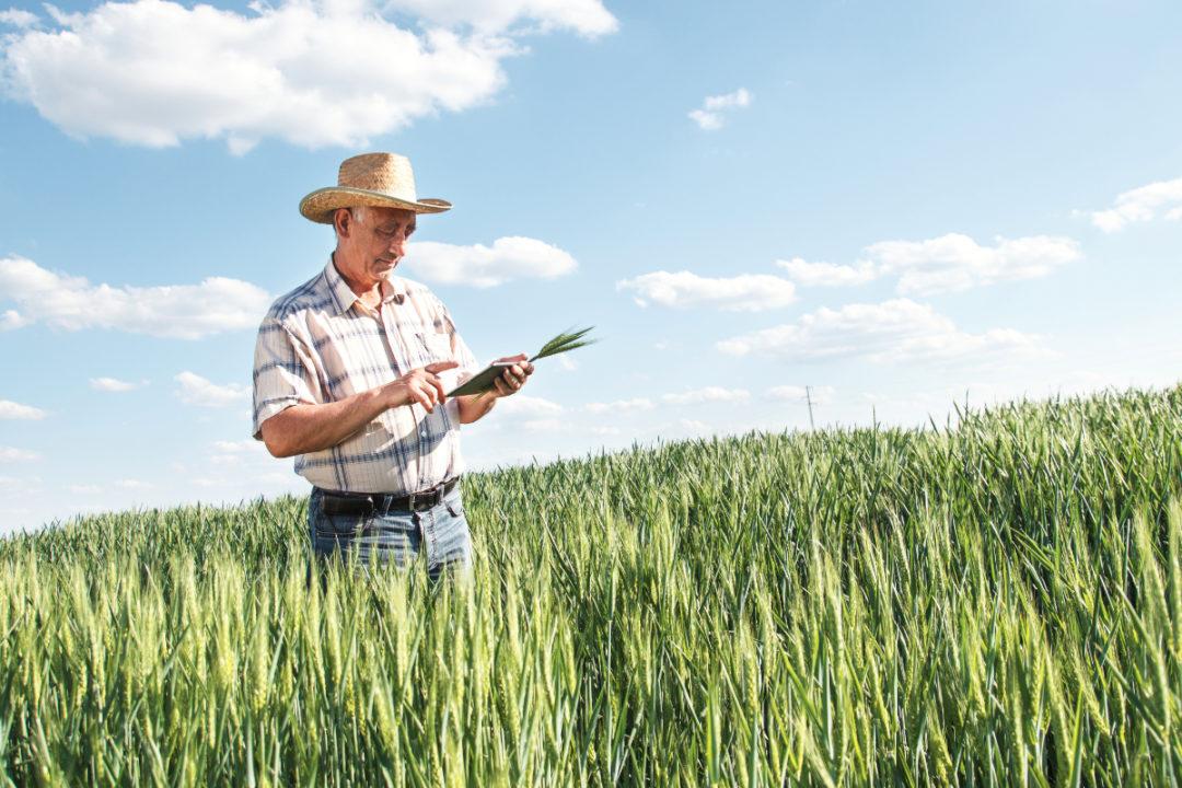Wheat farmer