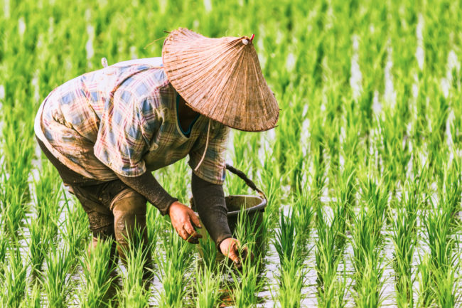 Vietnamese rice paddy harvest