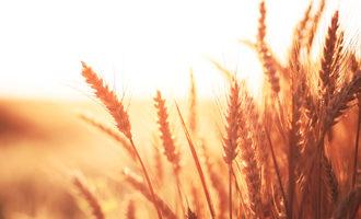 Red-wheat_photo-cred-adobe-stock_e