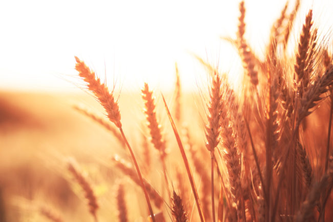 Red wheat field
