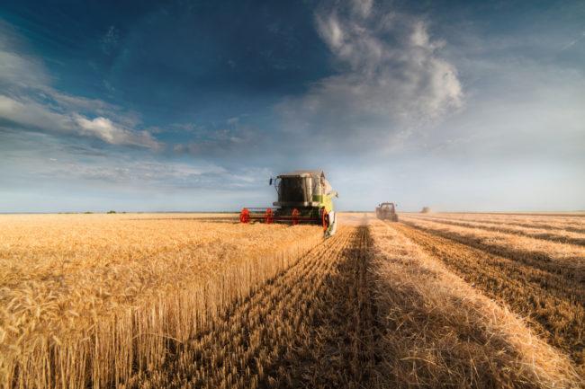 Spring wheat harvest