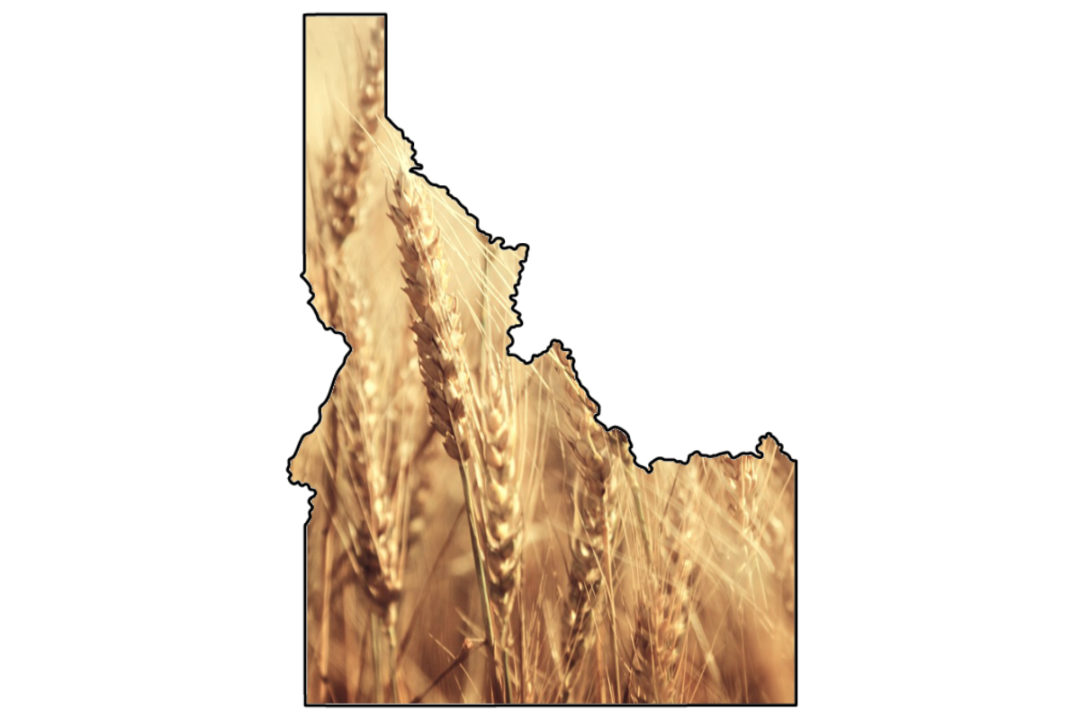 Idaho wheat