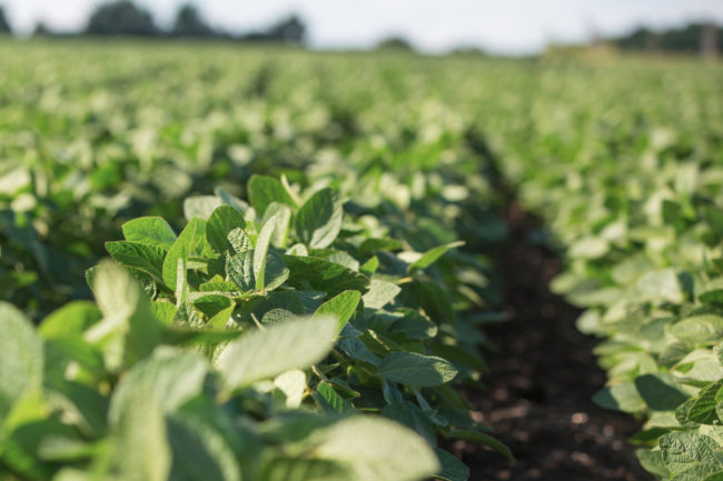 Organic soybean crops