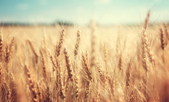 Wheatfield_lead