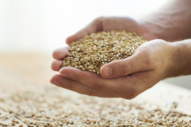 Hands holding wheat kernels