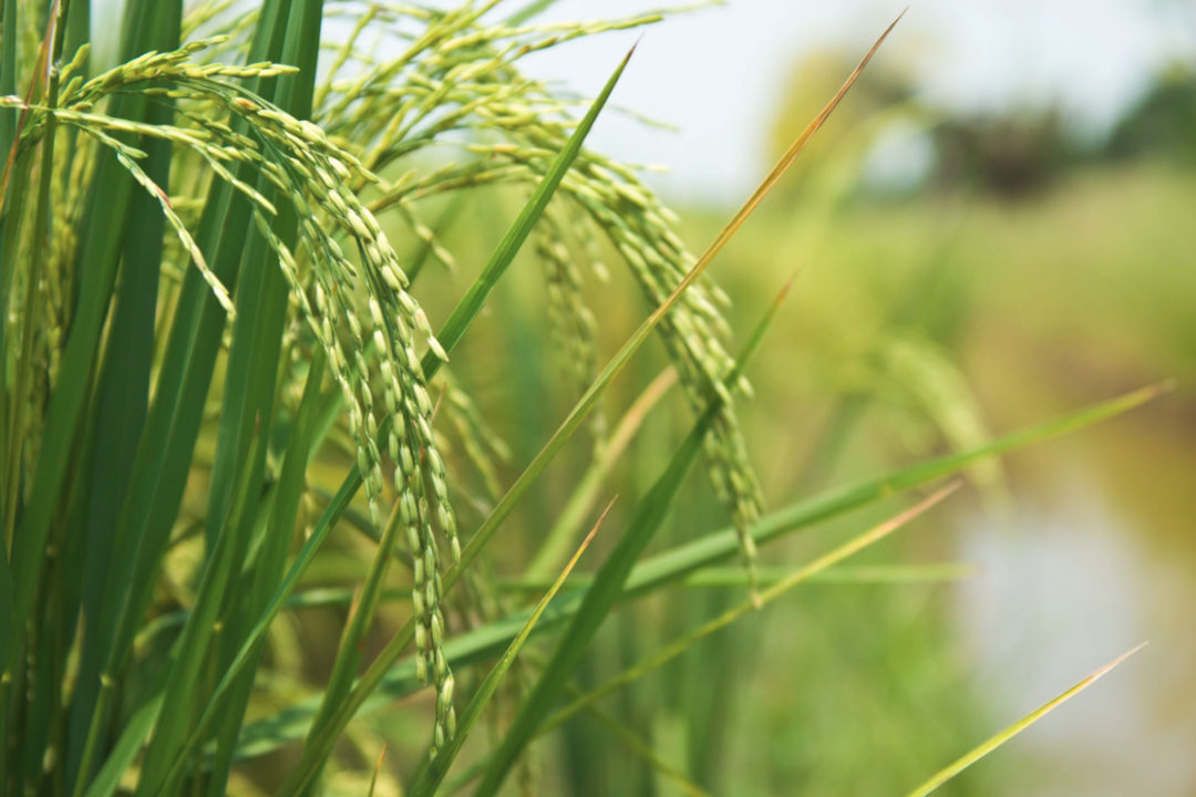Beneo rice plant