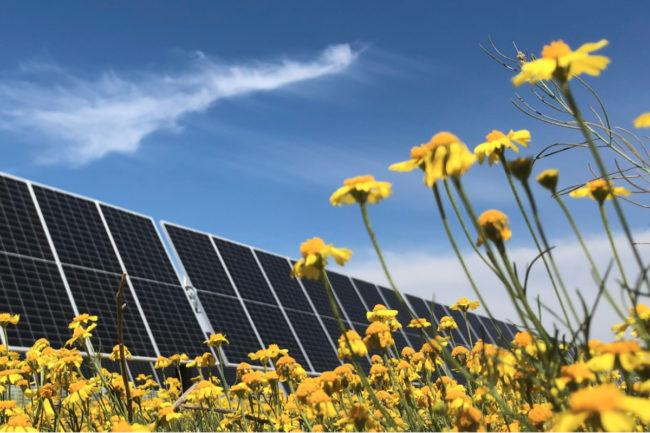 Nestle solar panels in canola field