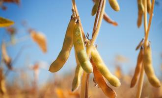 Soybean lead