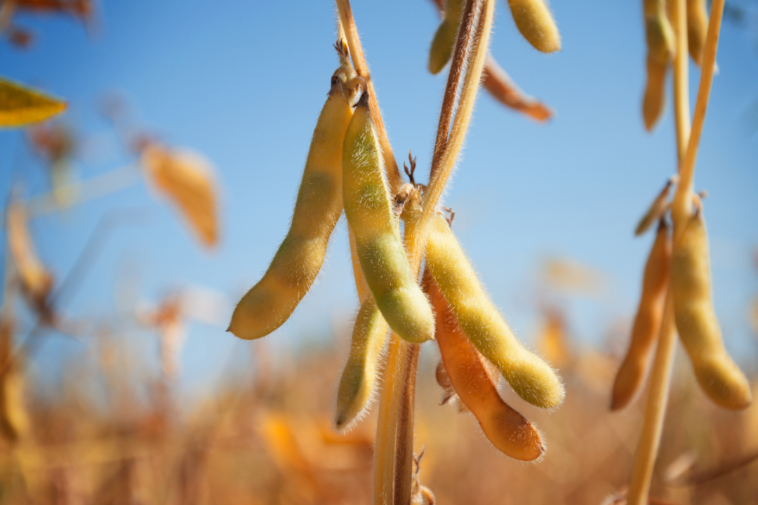 Ripe pods of soybean varieties on a plant stem in a field during harvest against a blue sky.