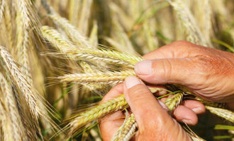 Wheat-research-donation_lead