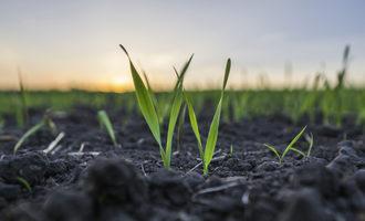 Wheat-planting