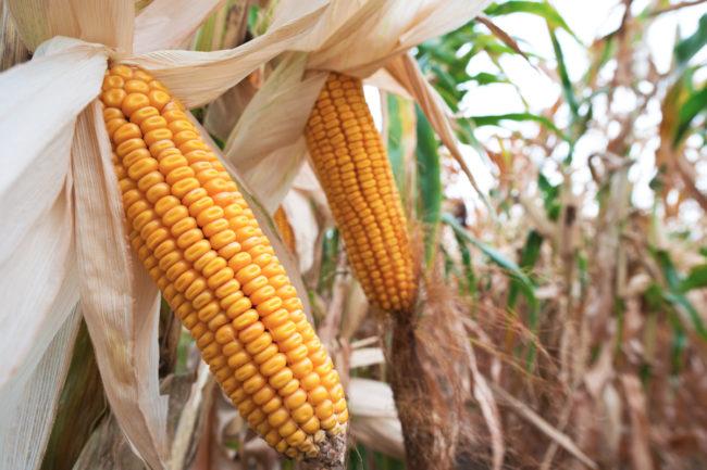Corn in cornfield