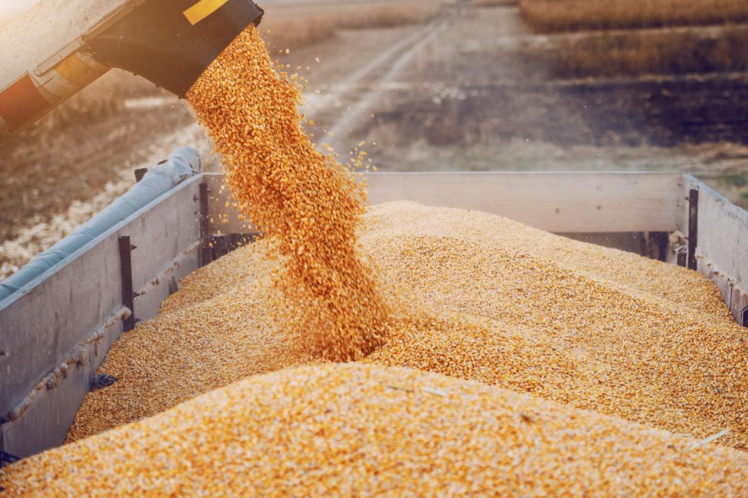 Corn grain production