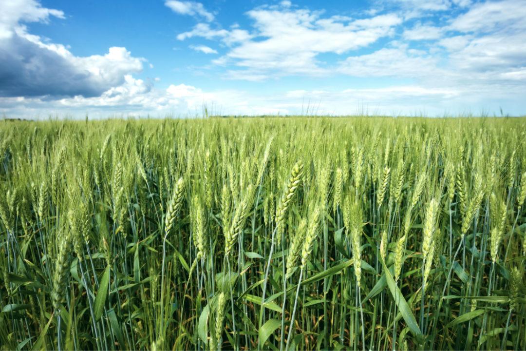 Spring wheat field