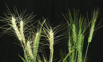Usda ars fusarium head blight pathogen in wheat photo cred usda ars e