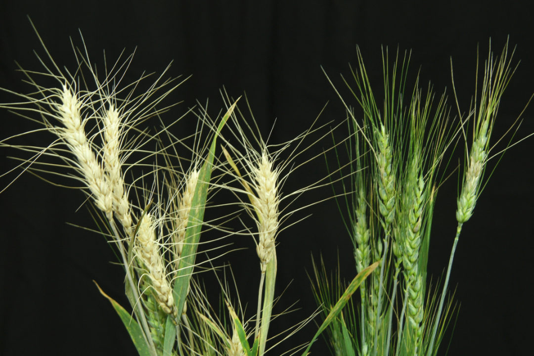 "A healthy wheat line, right, and a wheat line infected with ""scab,"" or Fusarium head blight, left"