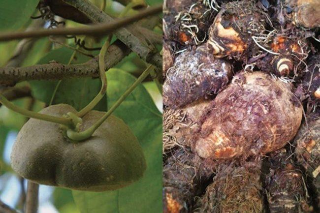Dioscorea bulb, Xanthosoma sagittifolium tuber