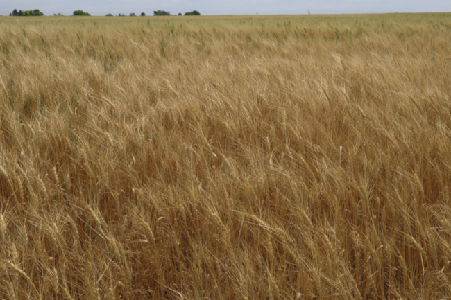 KSU wheat field
