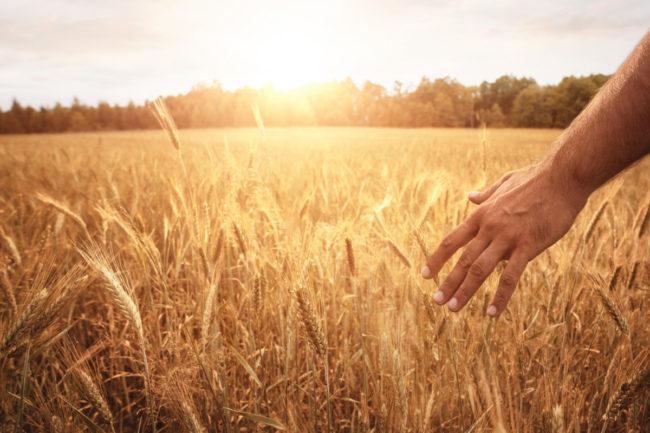 Field of organic wheat