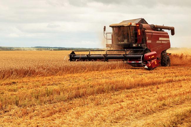 Wheat crop harvest
