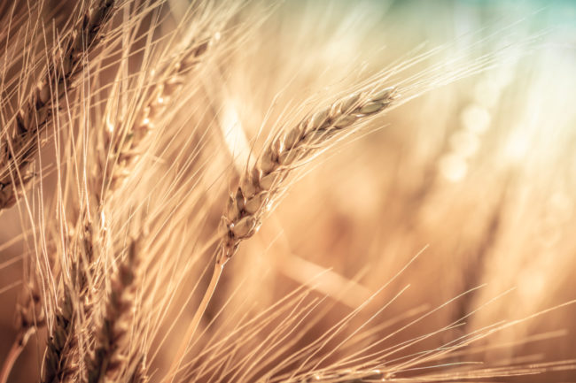 Eaves of wheat