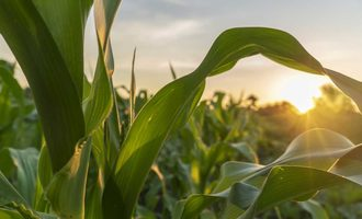 08262020 corn