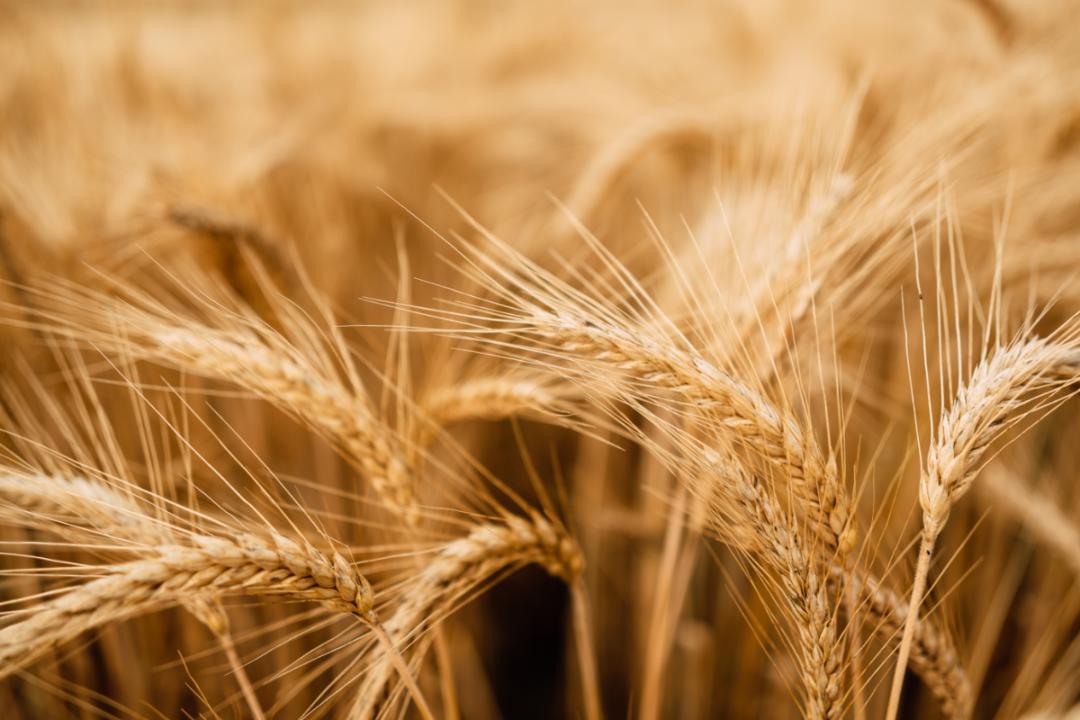 Wheat grain ready for harvest