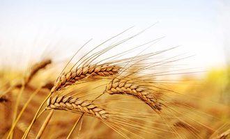 0904 wheat 282427601