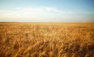 09092020 wheat