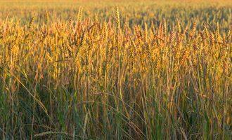 Durumwheat