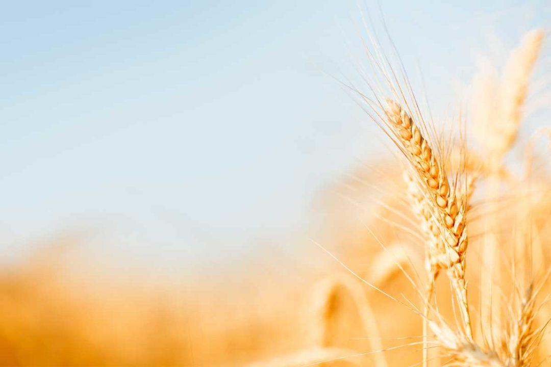 Wheat Field, Adobe Stock