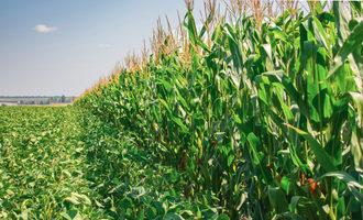 Cornsoybeanfields lead1
