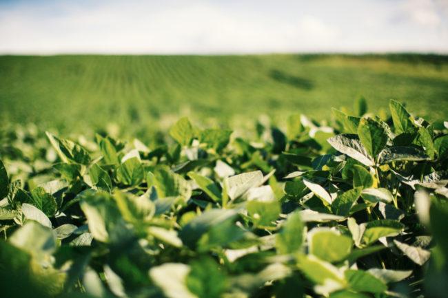Bunge soy field