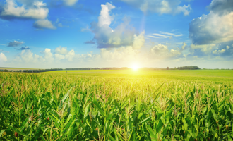 Corn field adobestock 108636737 e