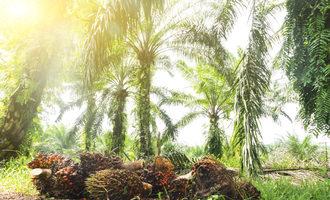 Palmoilplantation lead