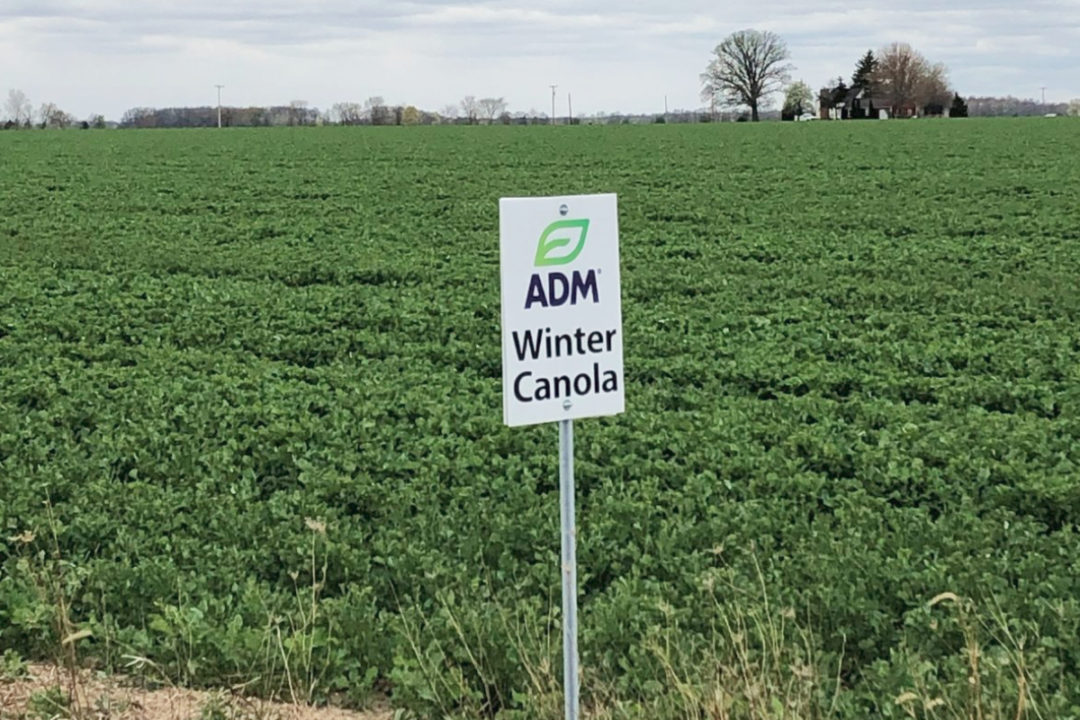ADM winter canola field