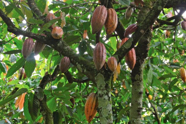 Global Organics, Ltd. cocoa pods