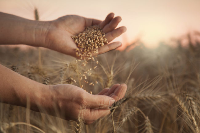 Wheat seeding